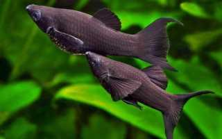 Аквариумные рыбки моллинезии