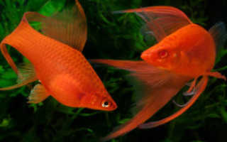 Температура в аквариуме для меченосцев
