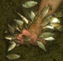 Рыбки гарра руфа вред и польза