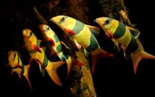 Рыба клоун аквариумная