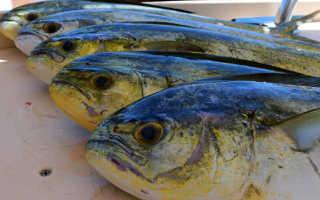 Рыба дорадо польза и вред