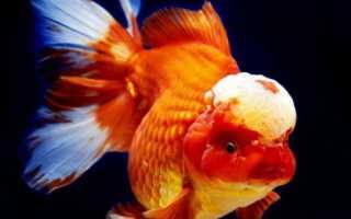 Аквариумная рыбка красная шапочка