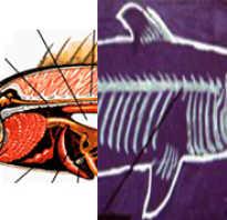 Чем костные рыбы отличаются от хрящевых