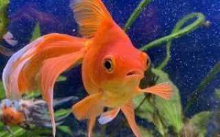 Золотые рыбки сколько живут