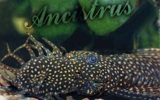 Аквариумные рыбки анциструсы