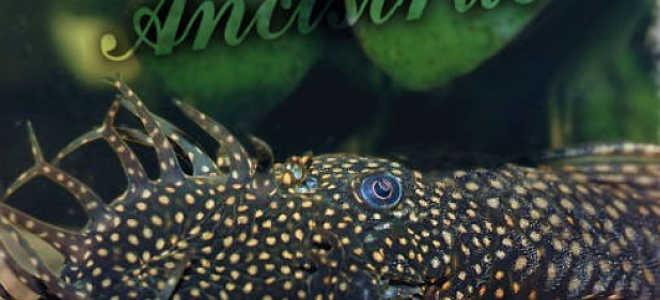 Аквариумная рыбка прилипала