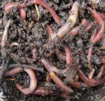 Как разводить червей в домашних условиях для рыбалки