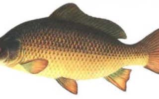 Виды карповых рыб