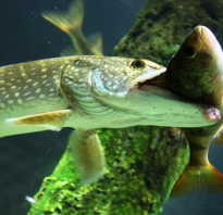 Чем питаются рыбы