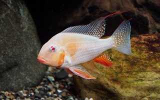 Аквариумные рыбки южной америки