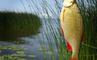 Как ловить красноперку летом
