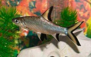 Родина меченосец аквариумная