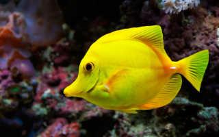 Аквариумные рыбки желтые