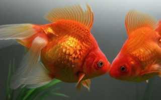 Золотые рыбки размножение