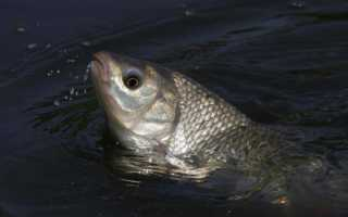 Как солить мелкую рыбу