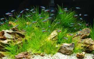 Рыбки неоны содержание и уход