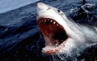 Сколько весит акула