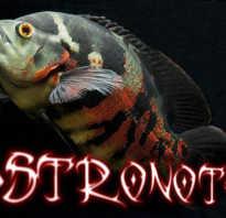 Аквариумная рыбка астронотус