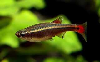 Аквариумные рыбки кардиналы
