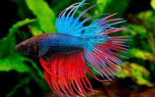 Аквариумные рыбки лабиринтовые