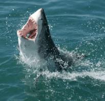 За сколько акула чувствует кровь