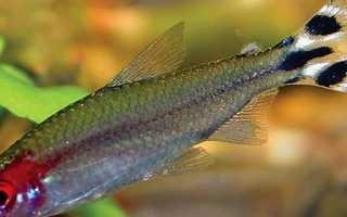 Харациновые аквариумные рыбки
