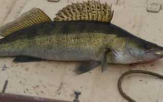 Судак рыба как приготовить