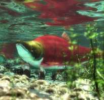 Виды лососевых рыб